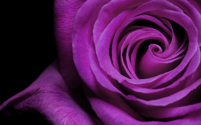 Magnificent-Purple-Roses-roses-34611030-2560-1600